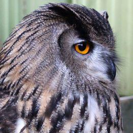 170116-eagle-owl-2