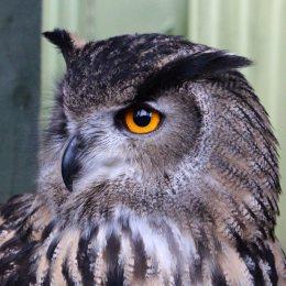 170116-eagle-owl-3