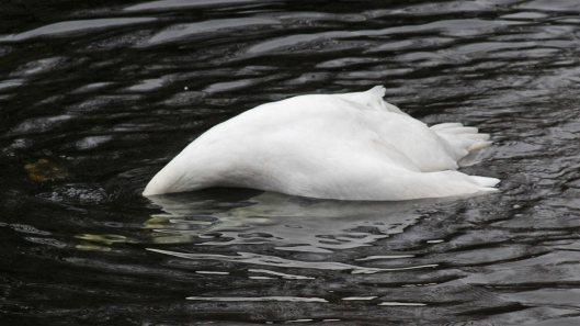 170118-spring-swans-1