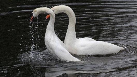 170118-spring-swans-2