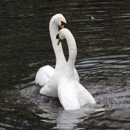 170118-spring-swans-3