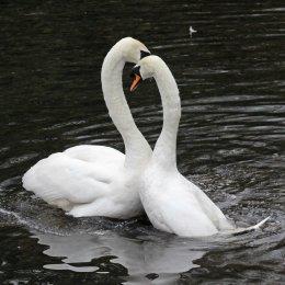 170118-spring-swans-4