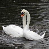 170118-spring-swans-7