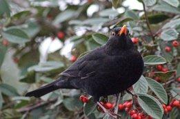 170119-cotoneaster-blackbird-1