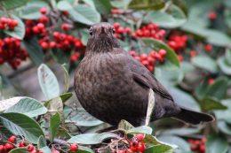 170119-cotoneaster-blackbird-2
