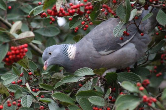 170119-cotoneaster-pigeon