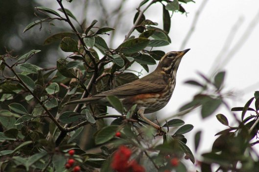 170119-cotoneaster-redwing