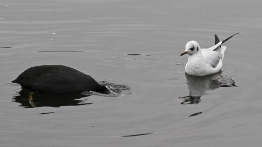 170124-coot-and-gull