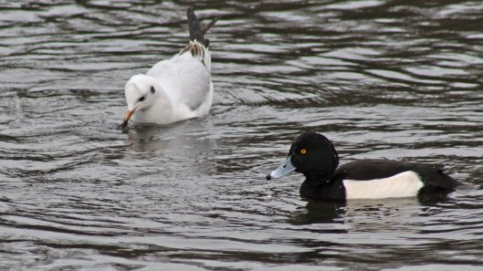 170124-gull-and-tufted-duck