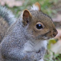 170130-grey-squirrel-1