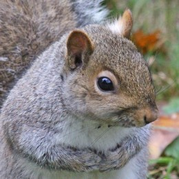 170130-grey-squirrel-3