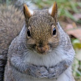 170130-grey-squirrel-4