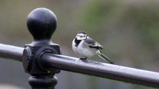 170204-pied-wagtail-2