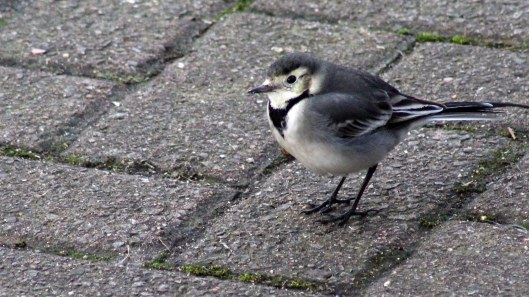 170204-pied-wagtail-3