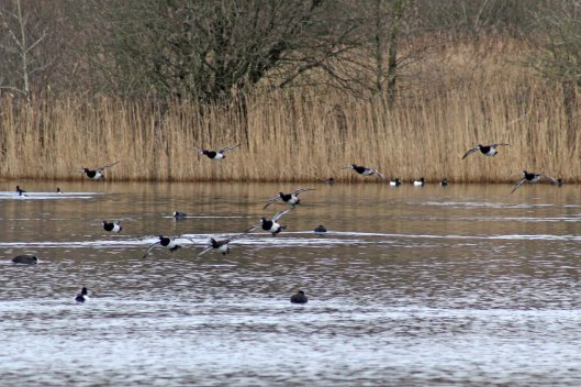 170206-tufted-ducks-landing-on-lake-1