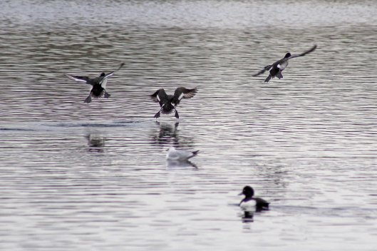170206-tufted-ducks-landing-on-lake-3