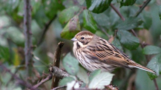 170207-reed-bunting-1