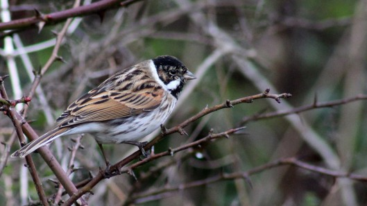 170207-reed-bunting-2