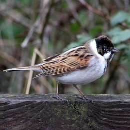 170207-reed-bunting-4