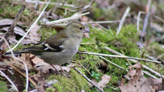 170209-chaffinch-female-1