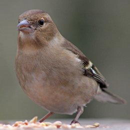 170209-chaffinch-female-2