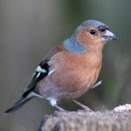 170209-chaffinch-male-2