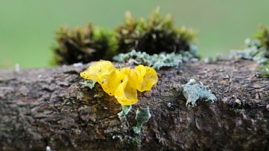 170210-tremella-mesenterica-yellow-brain-2