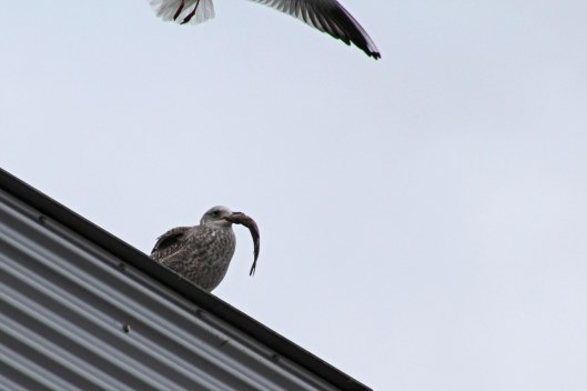 170213-herring-gull-with-fish-2