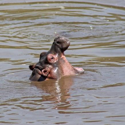 170215-hippopotamus-day-4
