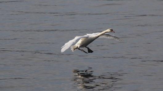 170220-swan-landing-1