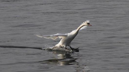 170220-swan-landing-2