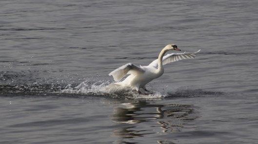 170220-swan-landing-3