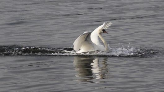 170220-swan-landing-4