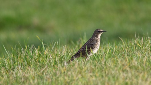 170221-meadow-pipit-1