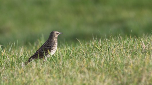 170221-meadow-pipit-2