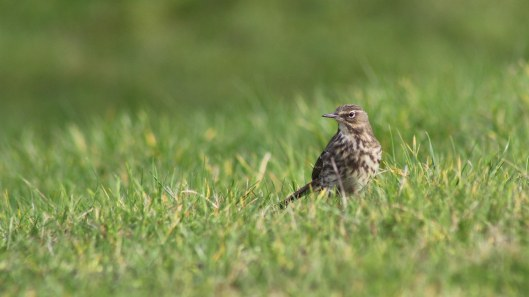 170221-meadow-pipit-3
