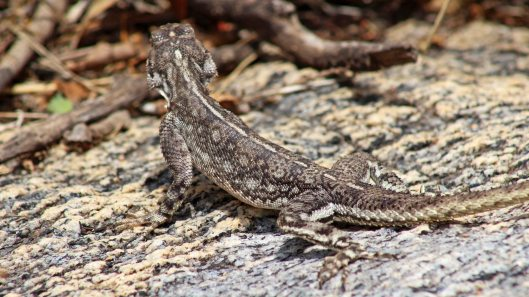 170222-tanzania-lizard-2