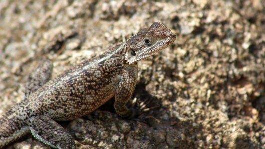 170222-tanzania-lizard-3