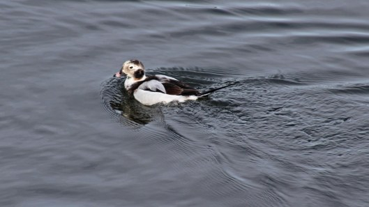 170223-long-tailed-duck-1