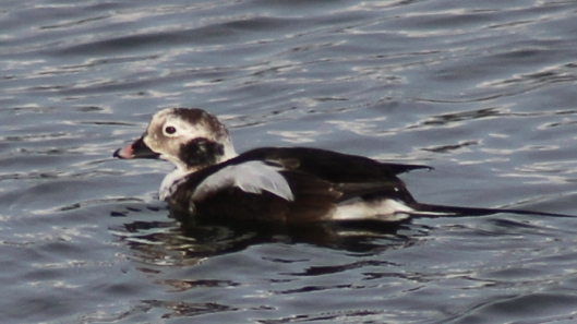 170223-long-tailed-duck-2