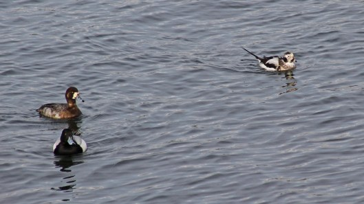170223-long-tailed-duck-3