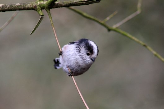170227-long-tailed-tit-1