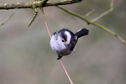 170227-long-tailed-tit-2