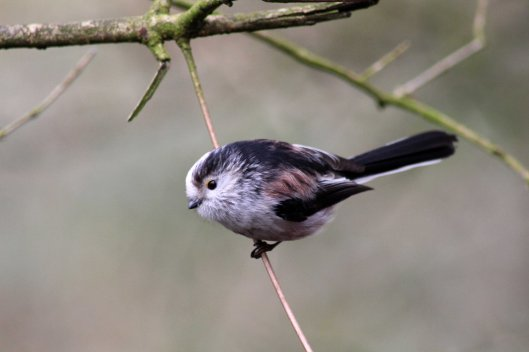 170227-long-tailed-tit-3