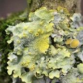 170228-lichen-4