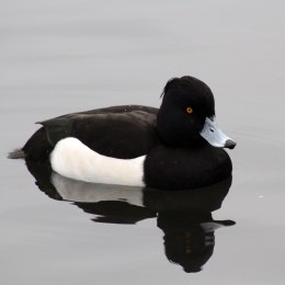 170235-tufted-duck-3