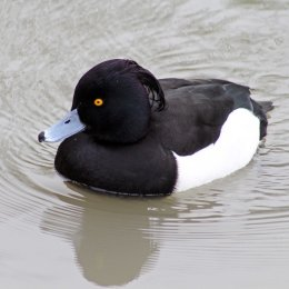 170235-tufted-duck-4