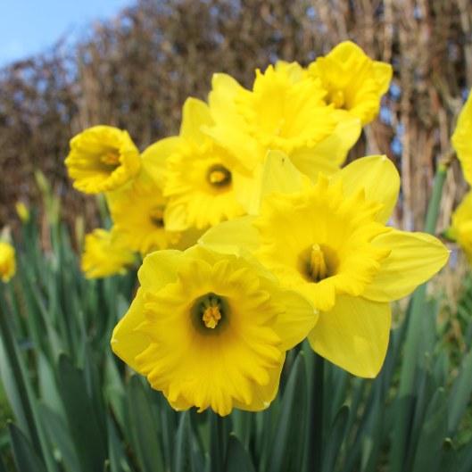 170301-st-davids-day-daffodils