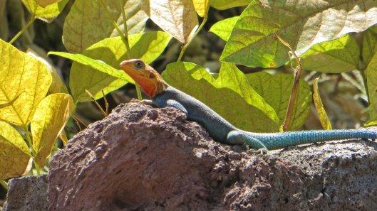 170302-male-agama-lizard-1
