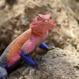 170302-male-agama-lizard-2